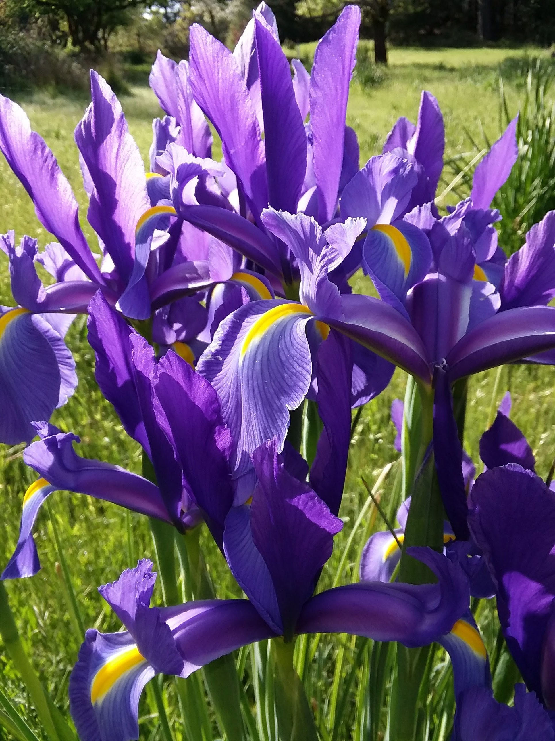 These were growing in the field across from our cabin. I woke up one morning to find several clusters of these wild Iris had bloomed in purples and whites.