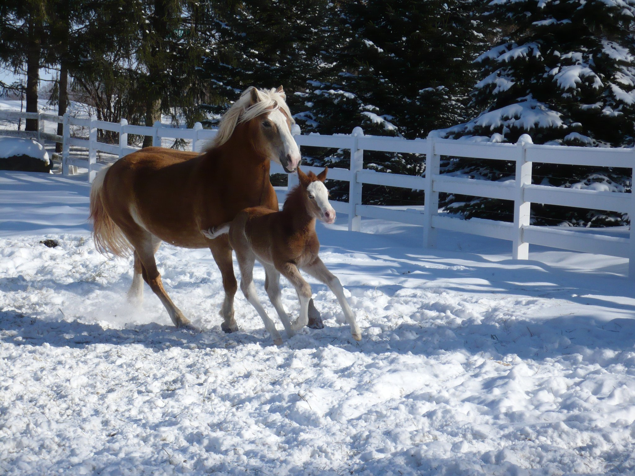 Leps Vanessa and her foal by Makuba, M. Valentino IK, who now drives, does dressage, and is starting to jump