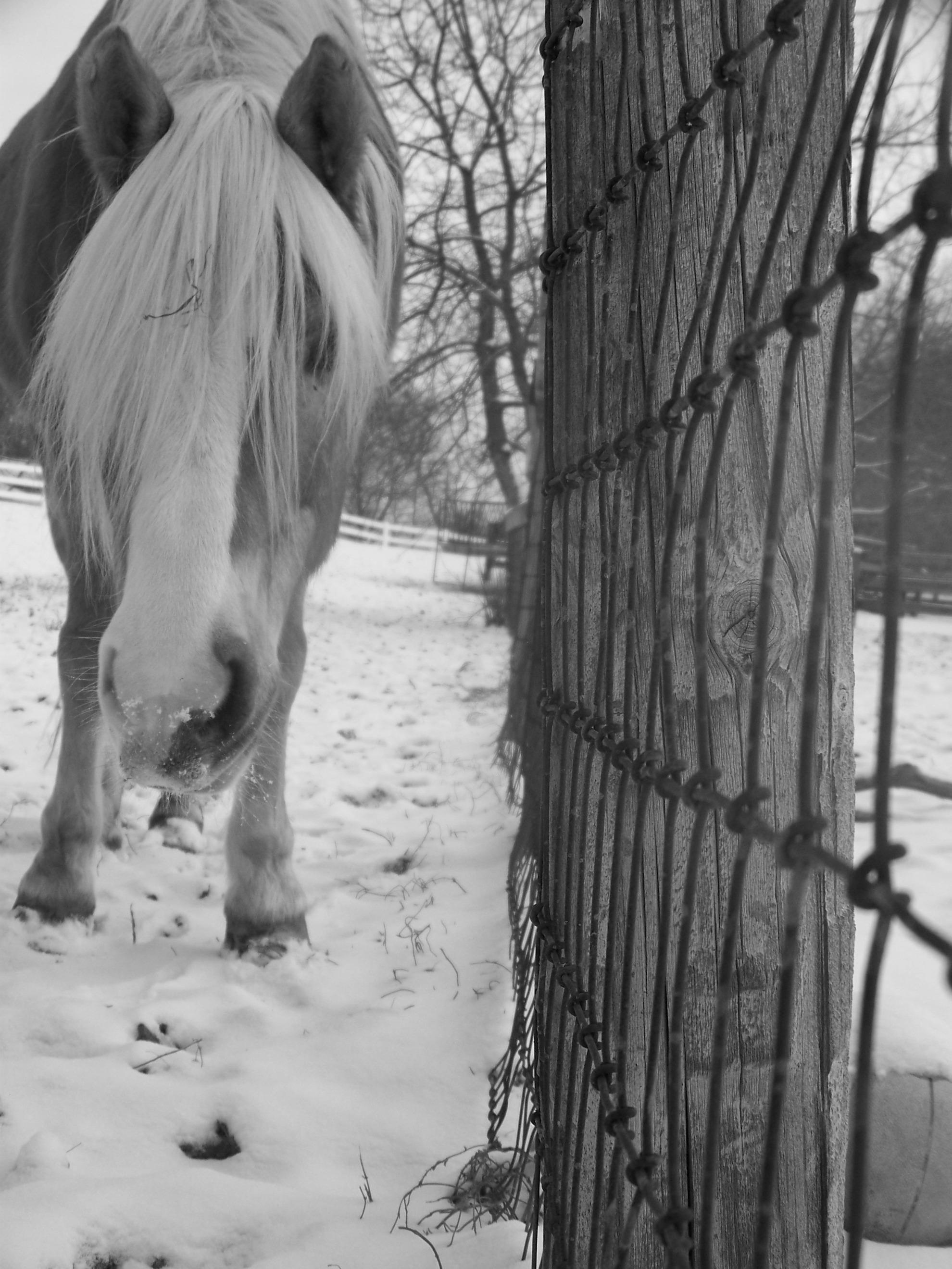 Vanessa, 1998 Haflinger mare, hanging out.JPG