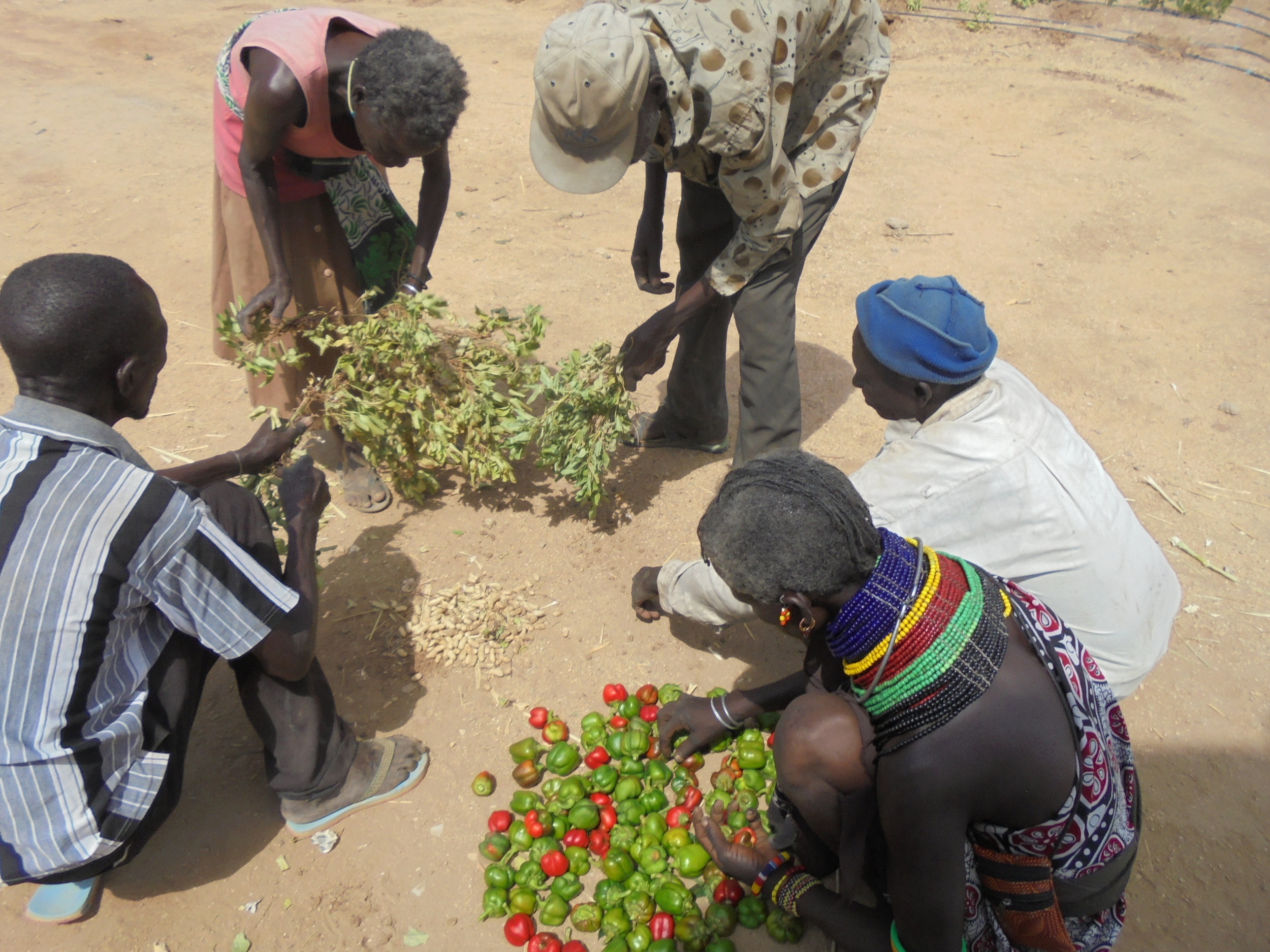 Photo: Achukule members harvesting and preparing their produce for sale       in Lokichar, Turkana county Kenya in February 2016.