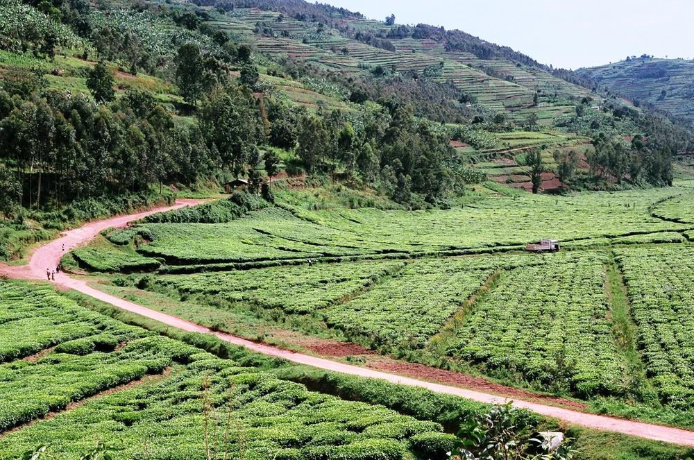 COOPTHE Mulindi tea plantations in Rwanda