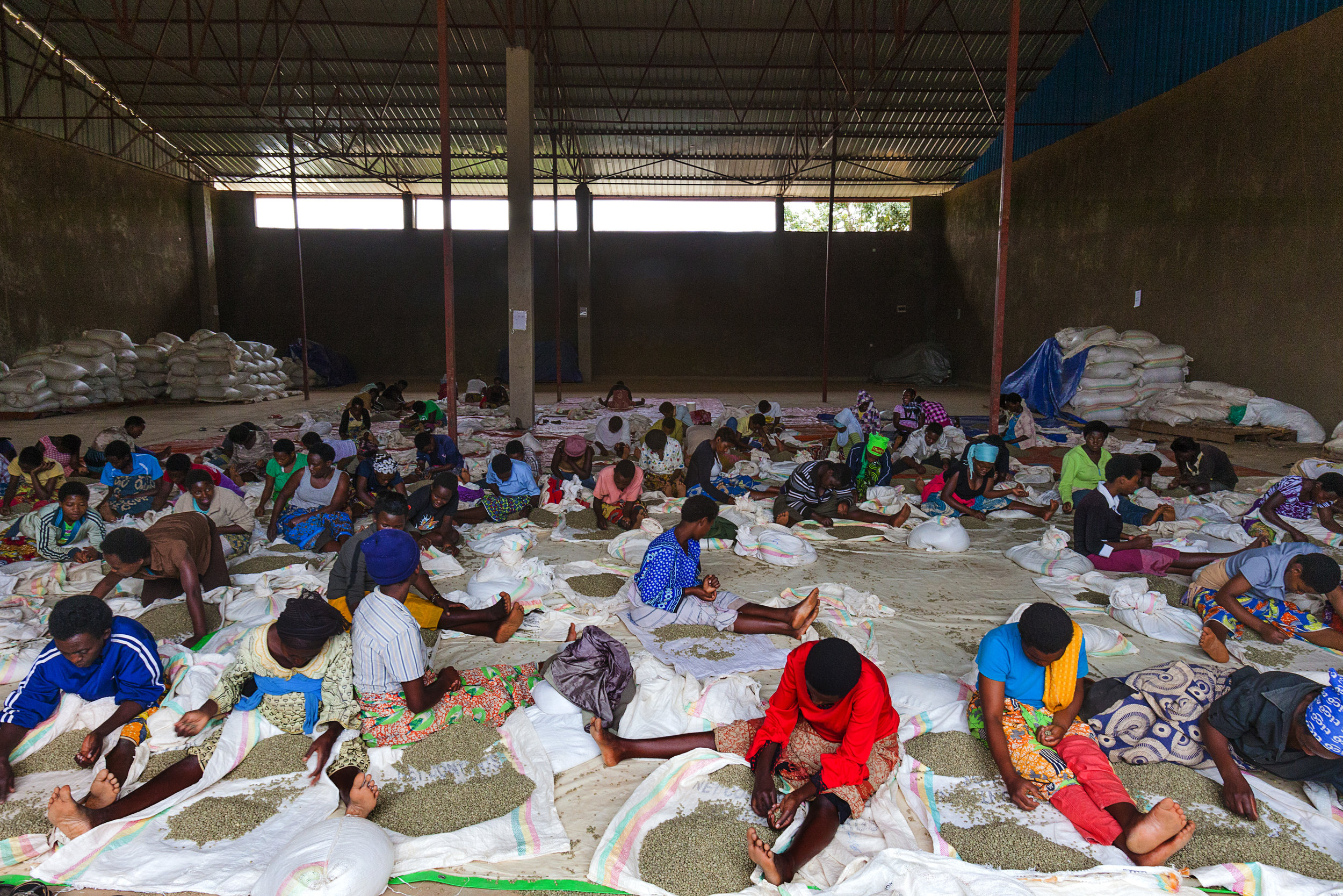 Hundreds of locals are employed daily to sort coffee beans at RWASHOSCCO's factory. Photo Credit: Nana Kofi Acquah