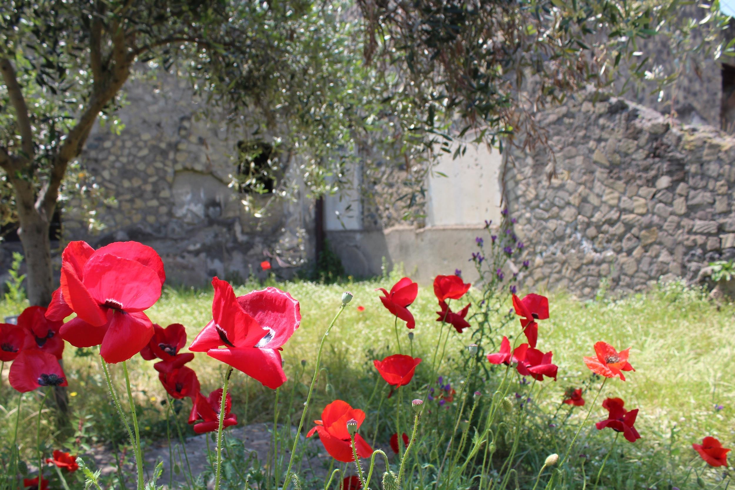 Poppies at Villa Poppaea
