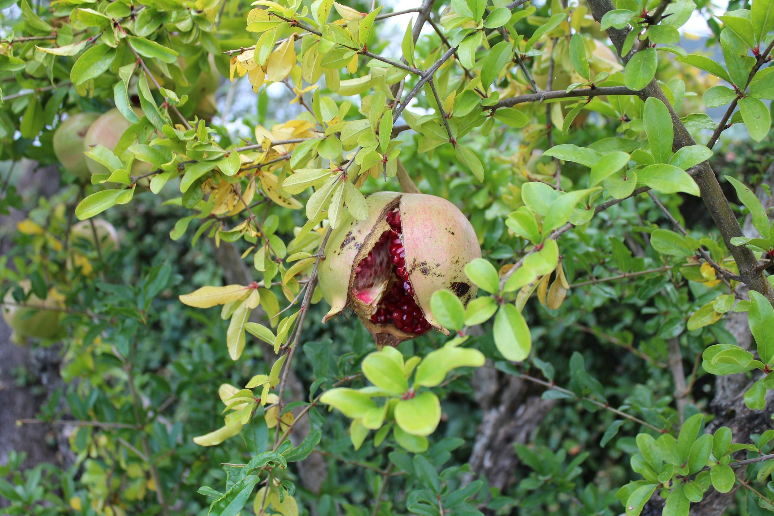 Hera Pomegranate Capaccio