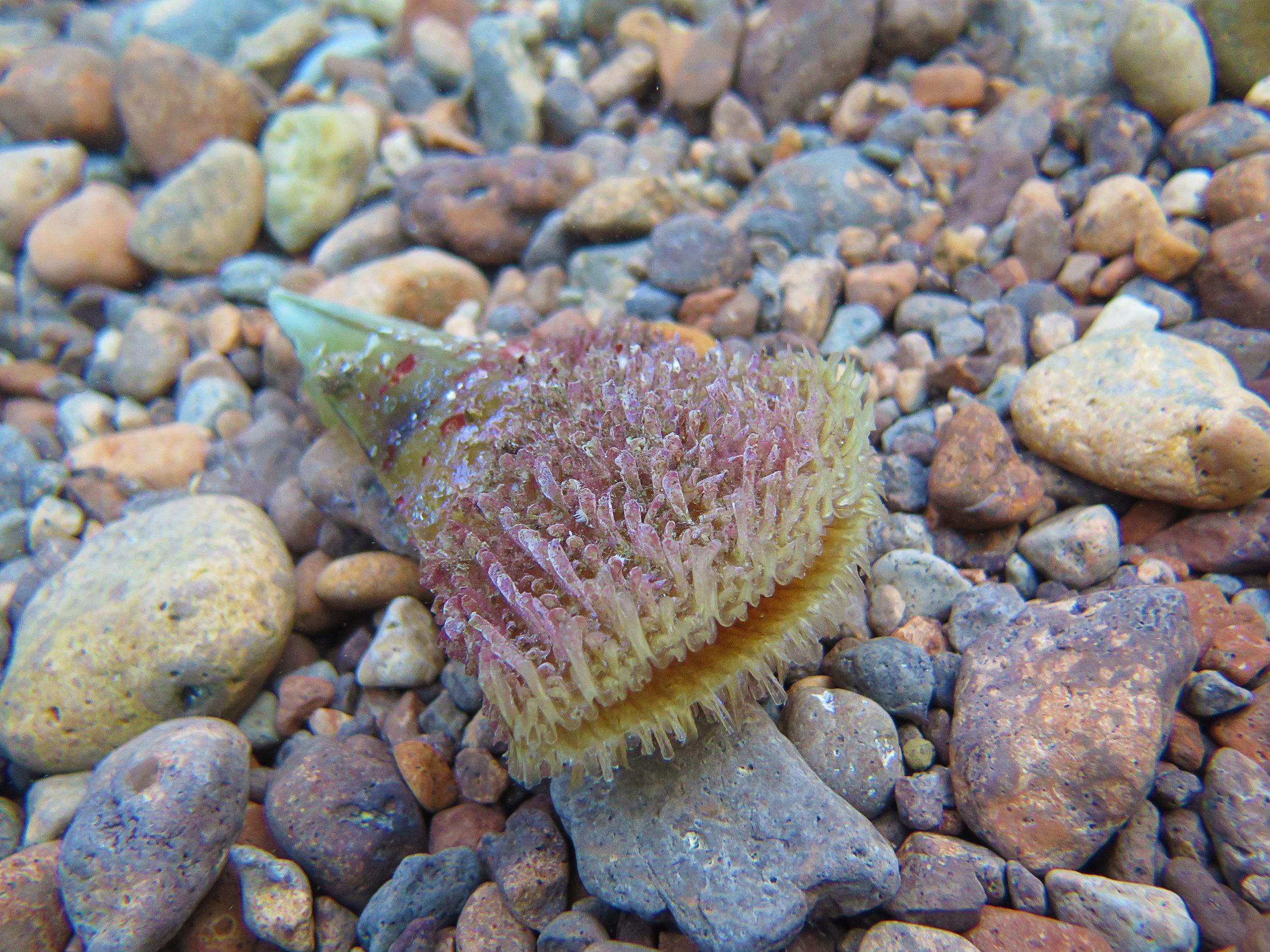 Fan mussel shell
