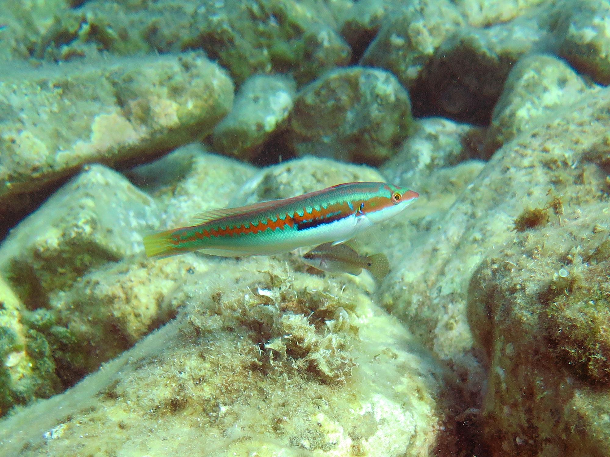 Mediterranean rainbow wrasse (male)