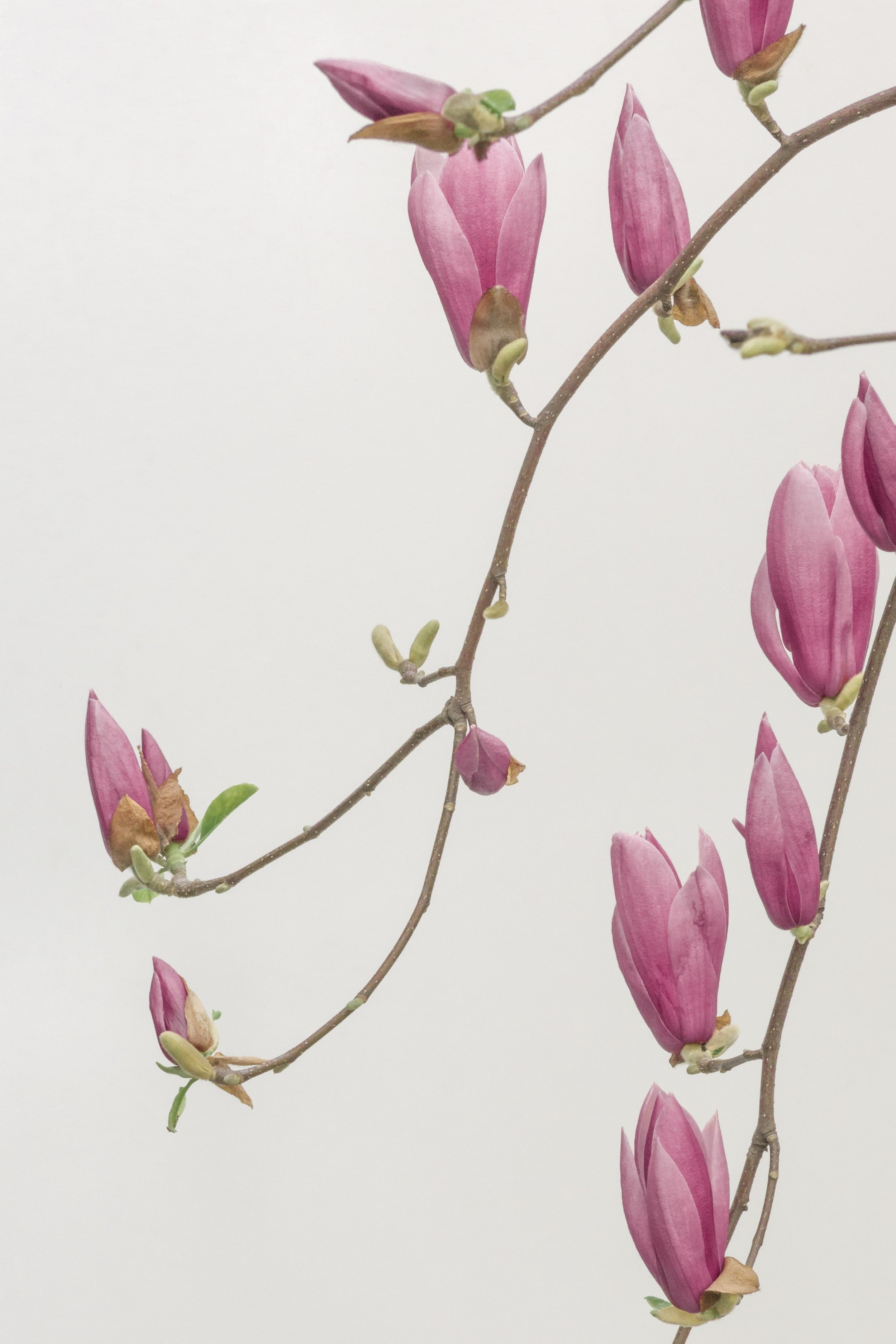 han-chenxu-+spring+bud.jpg