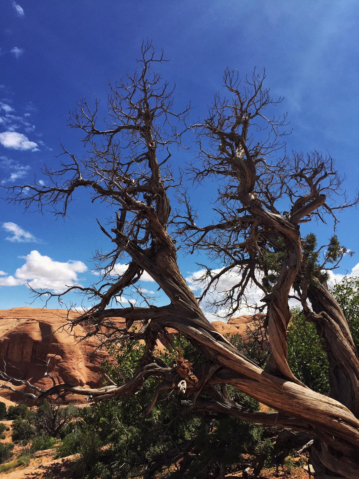 Pinyon Pines in Utah