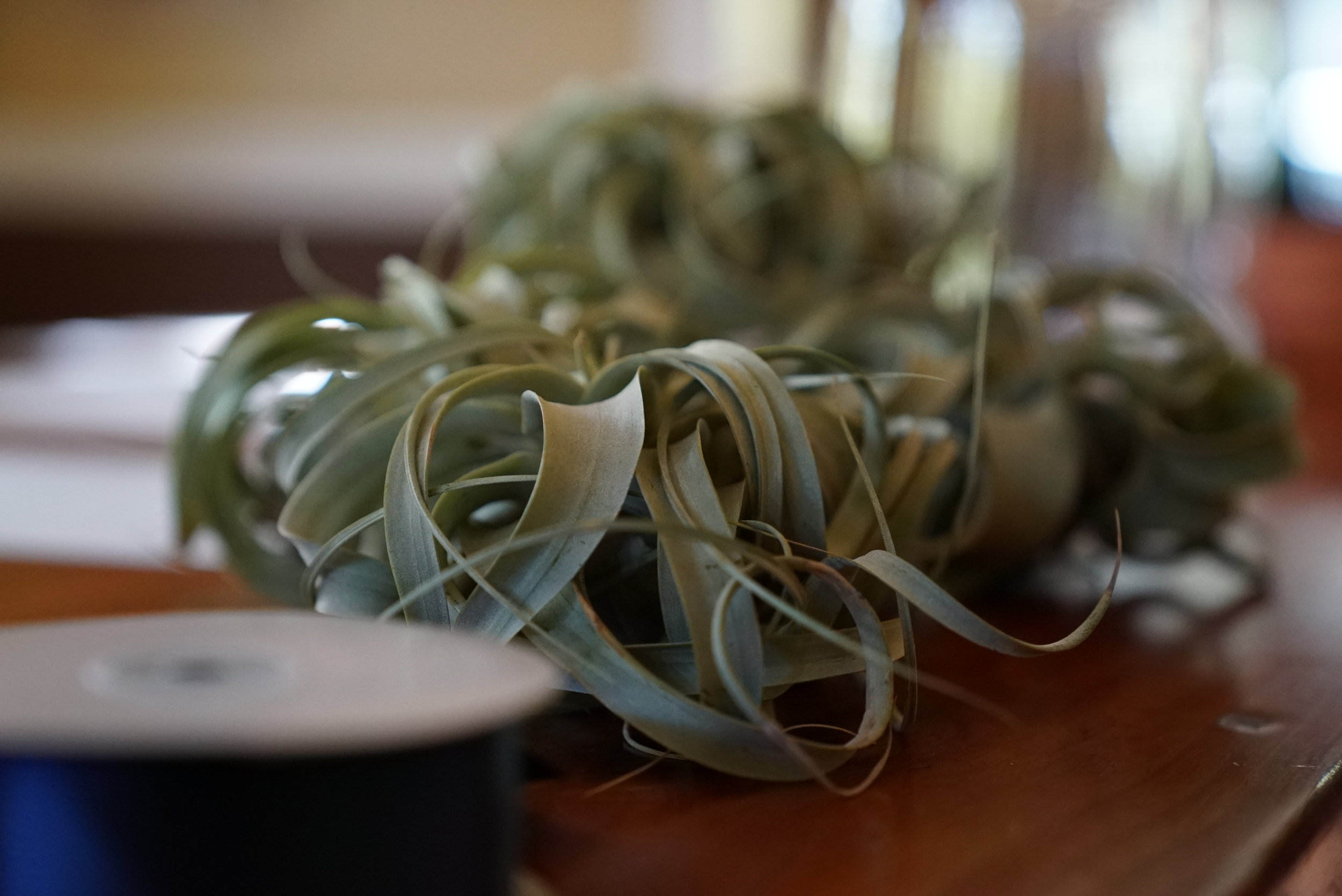 Tillandsia xerographicas being prepped for the head table decorations