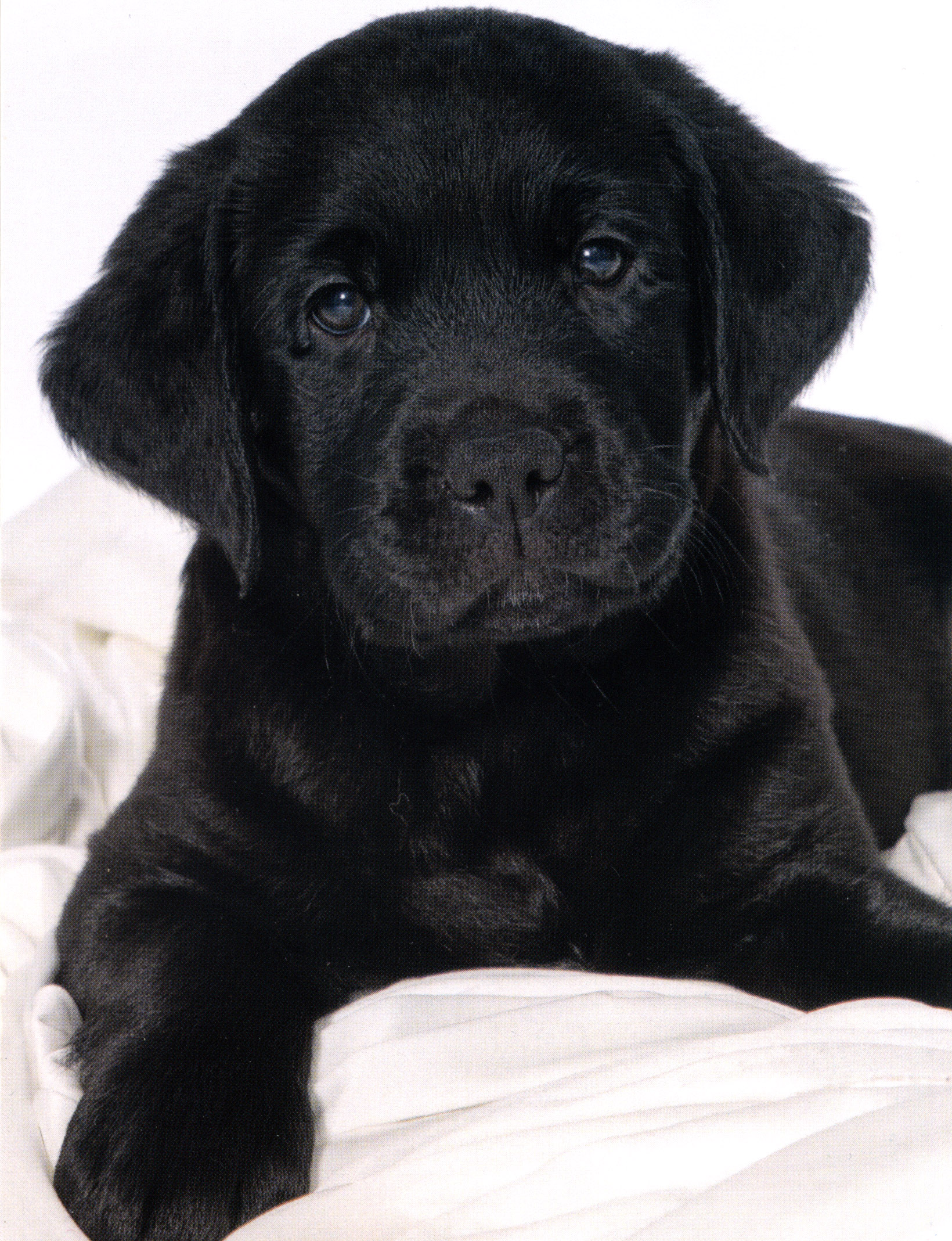 Meet Milo - Click on his nose to see whats happening with our Sponsored Guide Dog Milo.