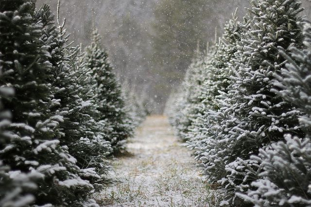 Capturing the essence of the tree farm, and bringing the thrill of joy through the sights and smells of wonder to your home.