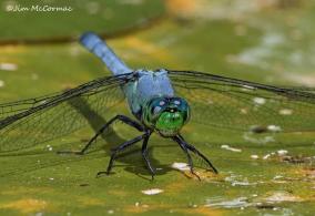 Dragonfly Big.jpg