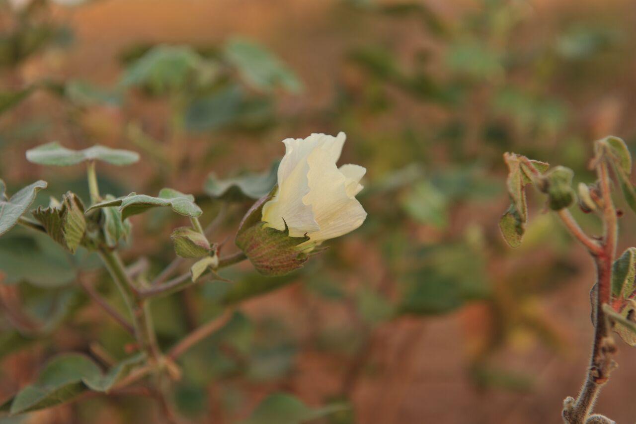 Cotton flower.Photo by Lonnie Graham.