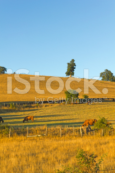 stock-photo-53596046-cows-grazing-in-chile.jpg