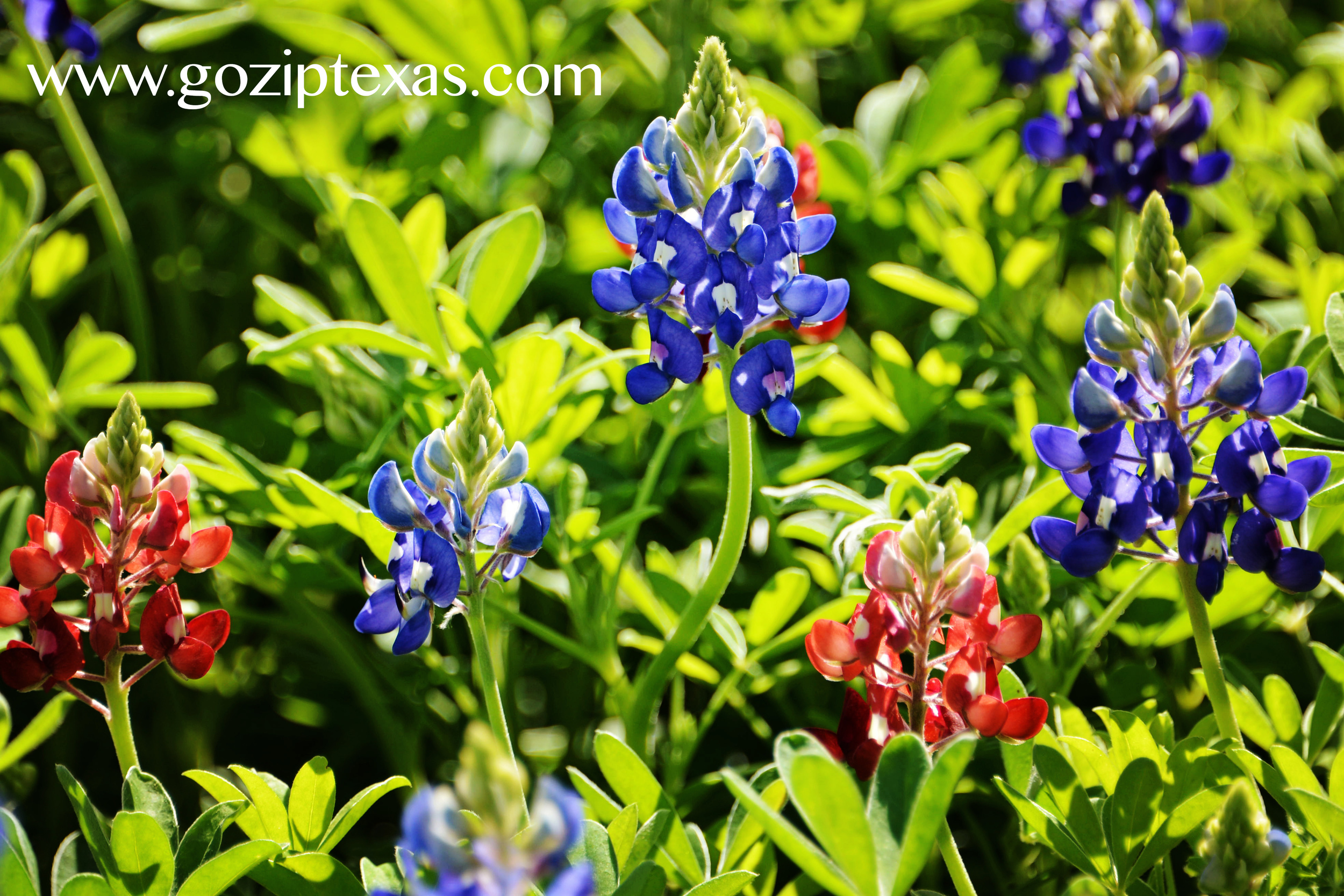 hot pink/red bluebonnets at New York Texas Zipline Adventures