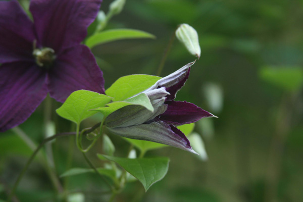 Clematis bloom up close