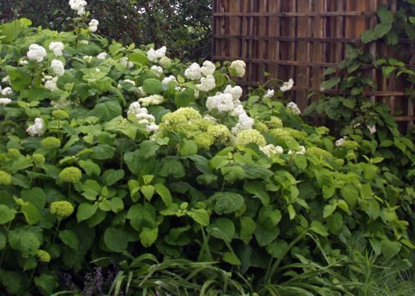 H. arborescens 'Grandiflora'