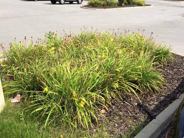 Spent daylilies