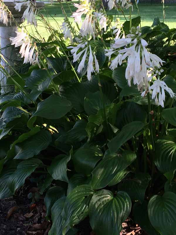 Hosta white blooms