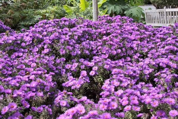 New England aster in the fall garden