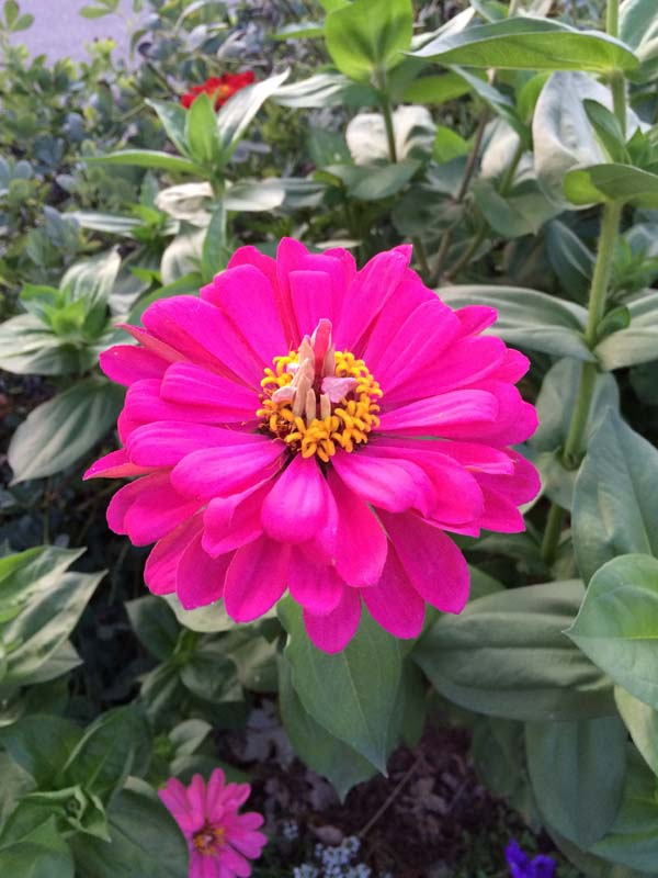 Single zinnia in the fall garden