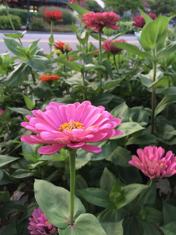 Zinnia in the fall garden