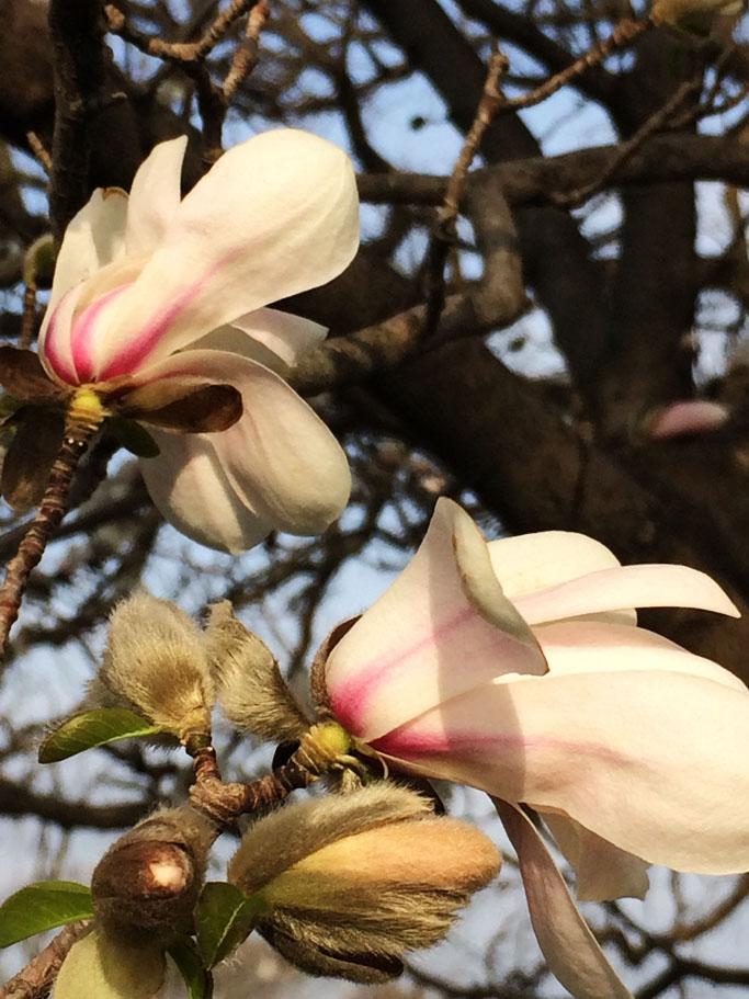RFLD Magnolia stellata blooms