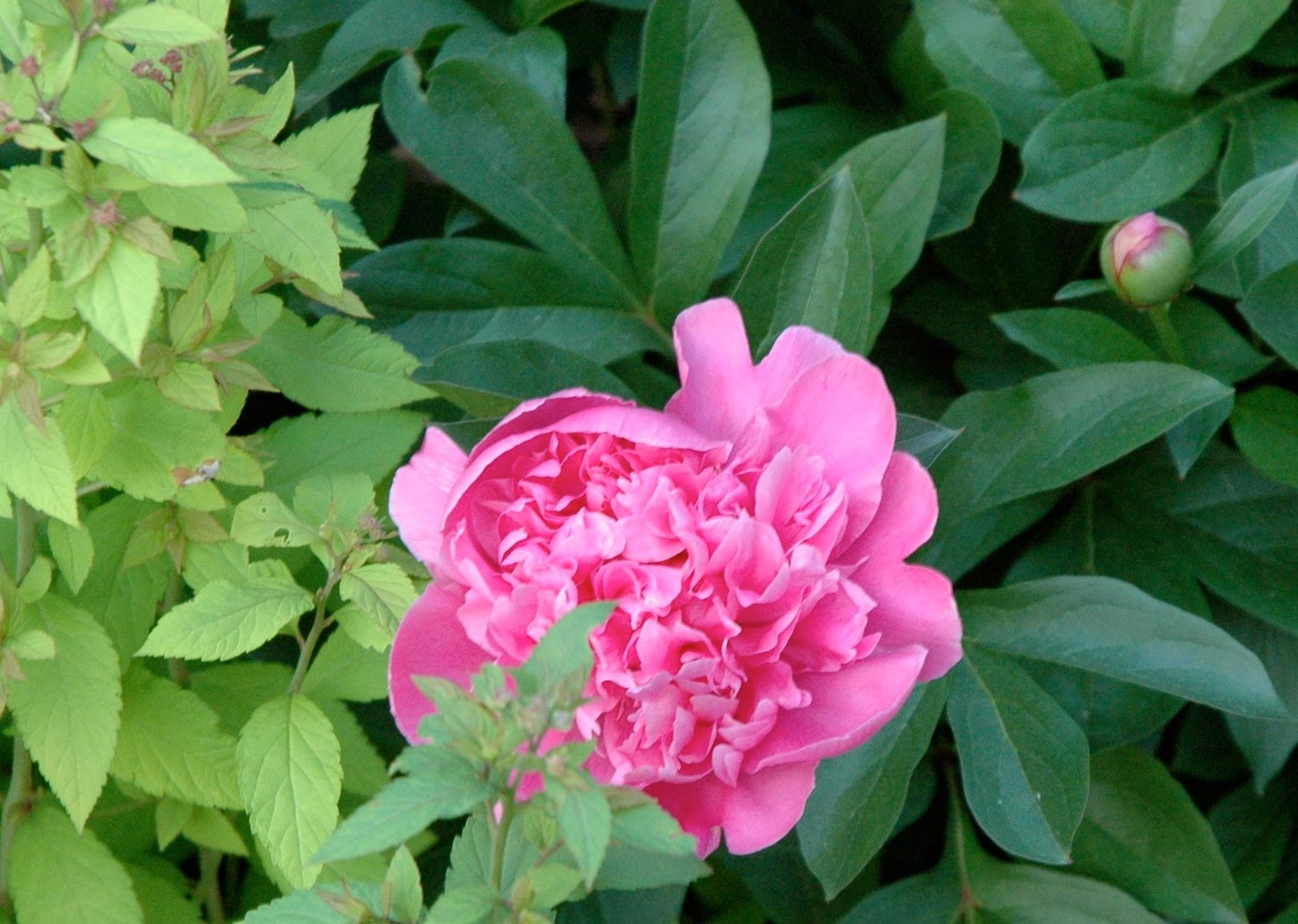 iowa peony, iowa garden consulting, iowa garden design, iowa garden ideas, iowa landscape consulting, iowa landscaping, iowa landscape design, iowa landscape services, iowa landscaping ideas, des moines landscaping, des moines landscape design, des moines landscape services, des moines landscaping ideas, red fern landscape design, red fern landscaping