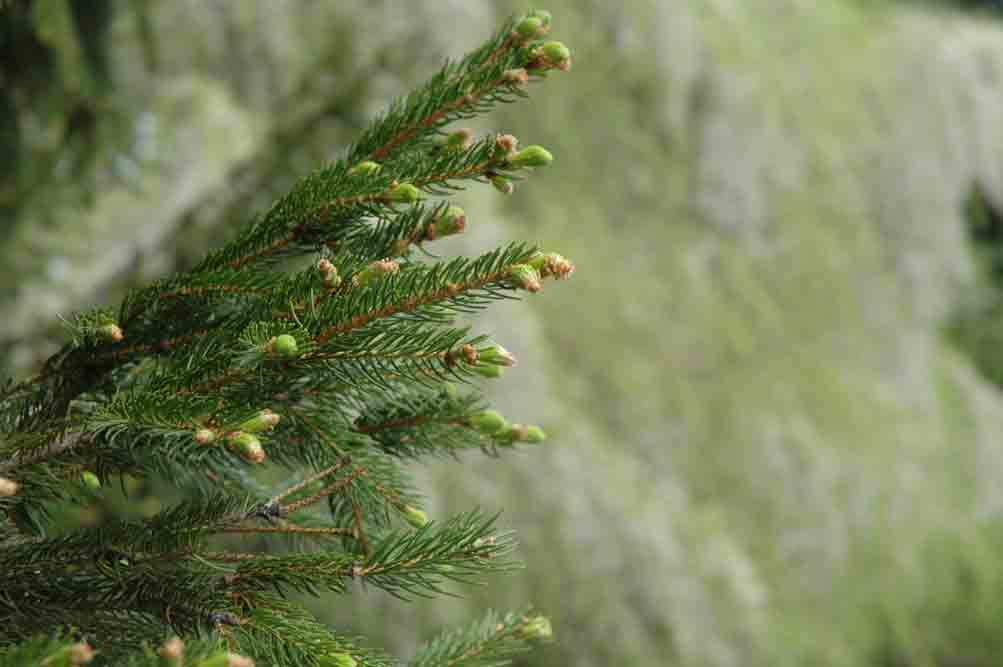 Plant Picks Easy Evergreen Shrubs For Iowa Gardens