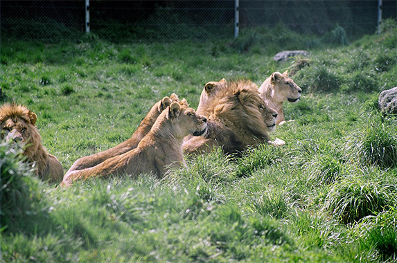 Les lions © Paradise Valley Springs