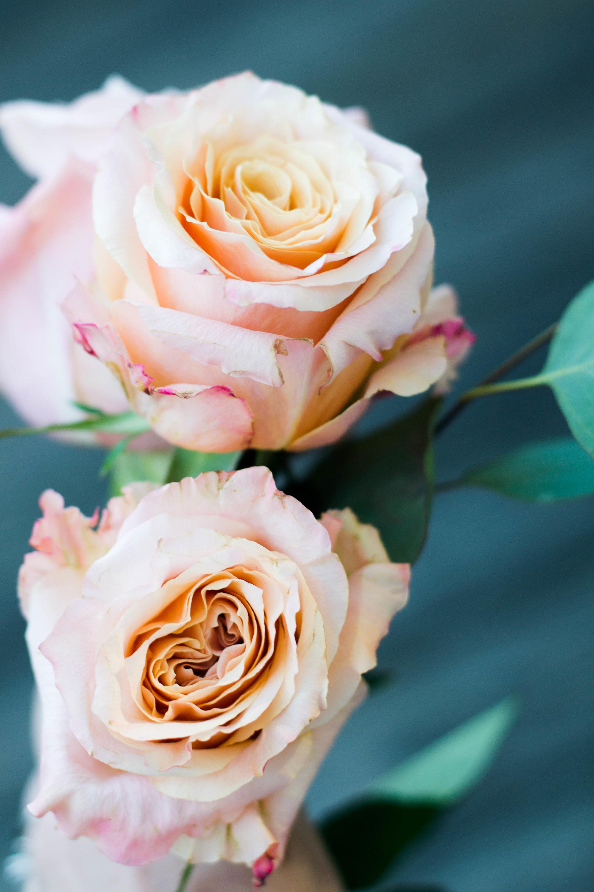 roses_-5.jpg