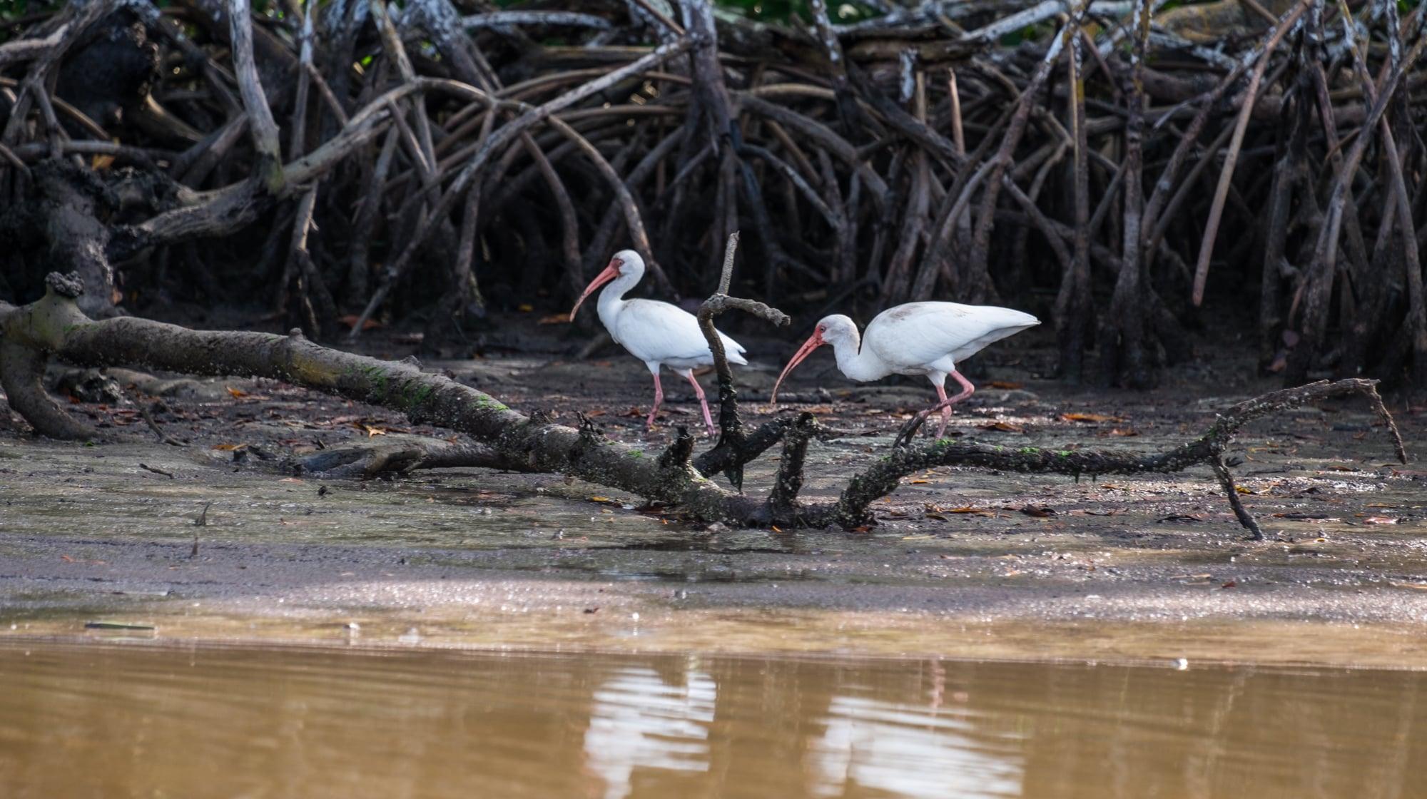 Birds among the mangroves.