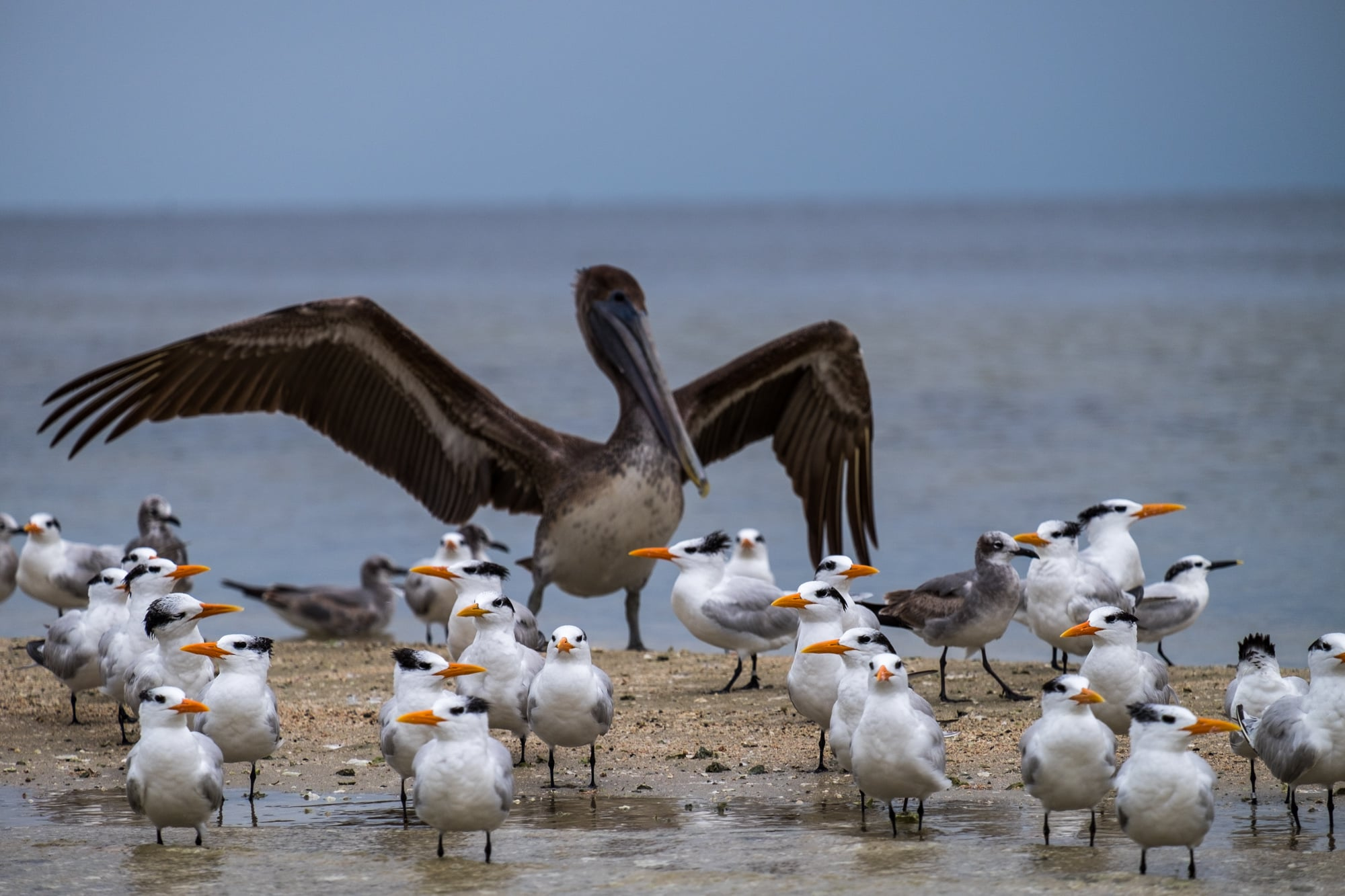 A brown pelican shows who's the boss.