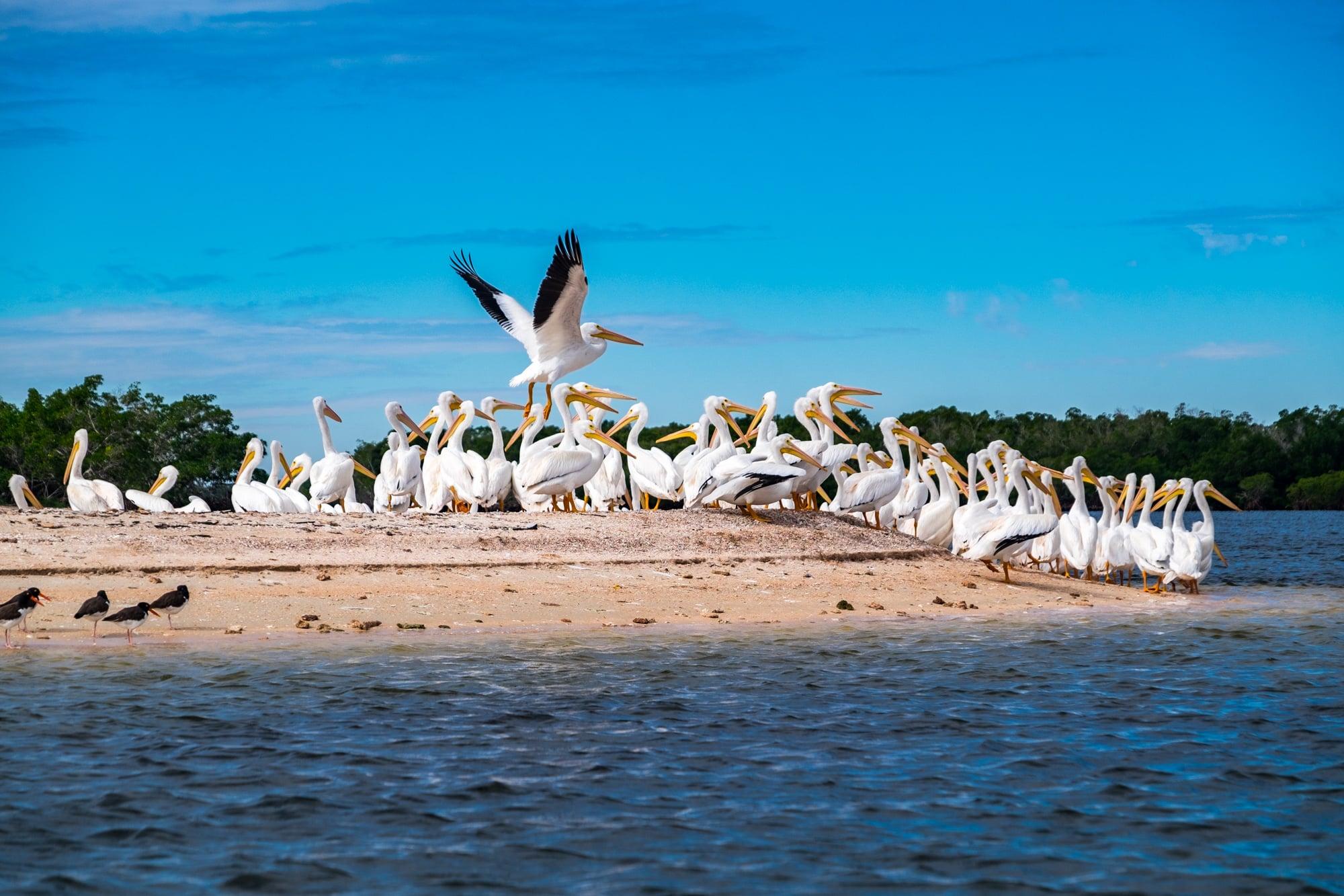 White pelican in flight on Indian Key.