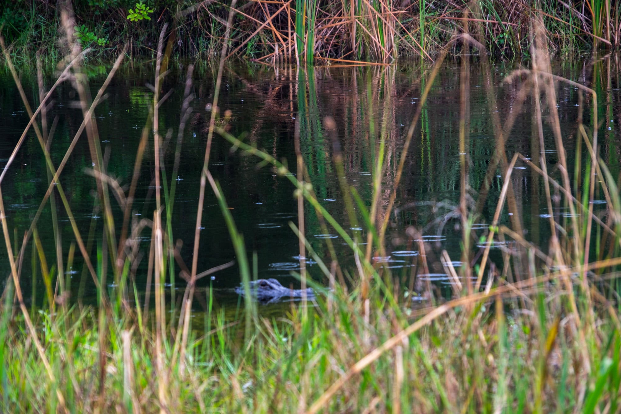 Sneaky American Alligator.