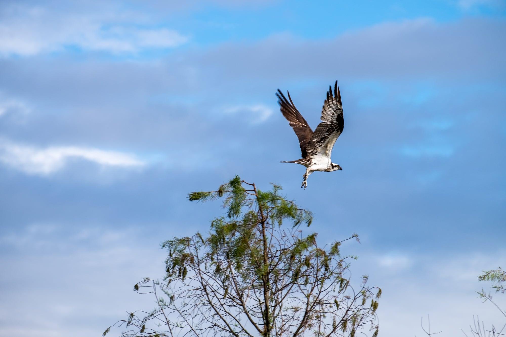 An osprey (Seahawk) in flight. Cacaw!