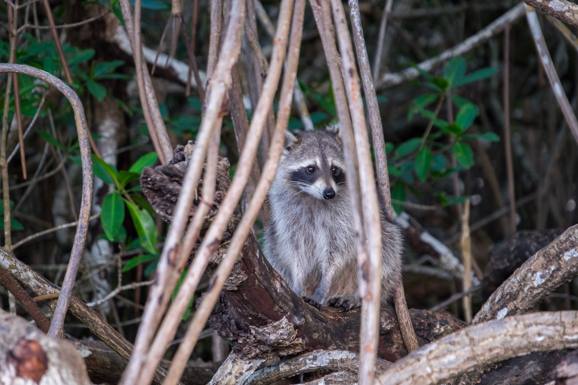 Saltwater racoons....much smaller than their woodland cousins.