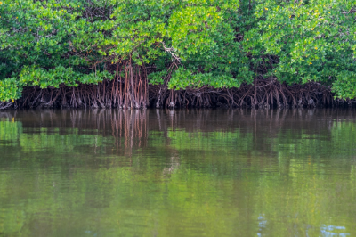 Red mangrove trees in Everglades National Park. | Credit: Jonathan Irish
