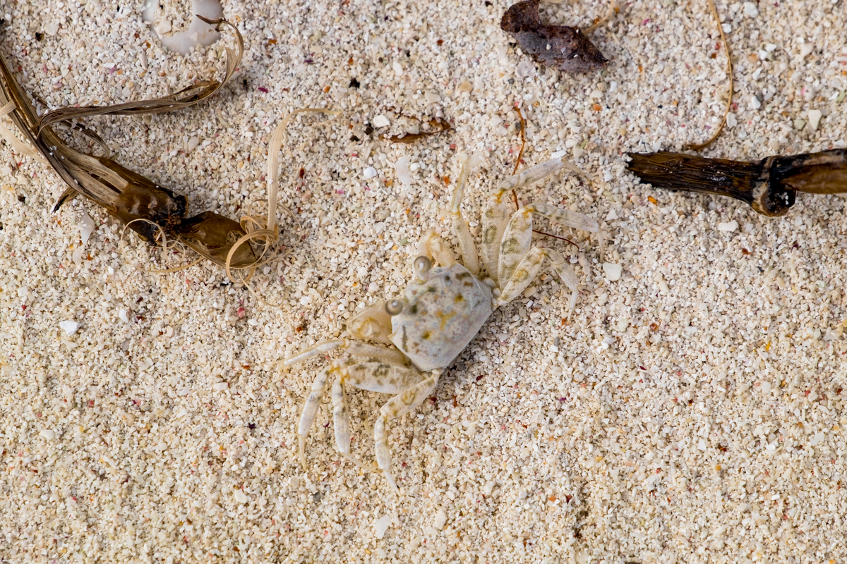 Sand crab in Dry Tortugas National Park