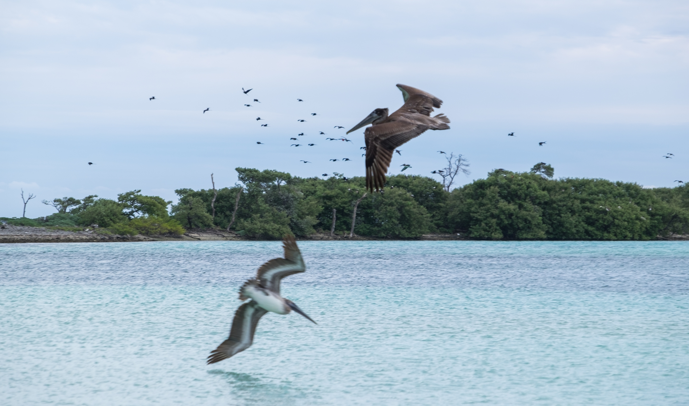 Brown Pelicans in Dry Tortugas National Park