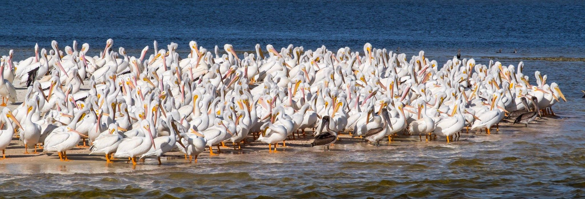 White Pelicans in Everglades National Park