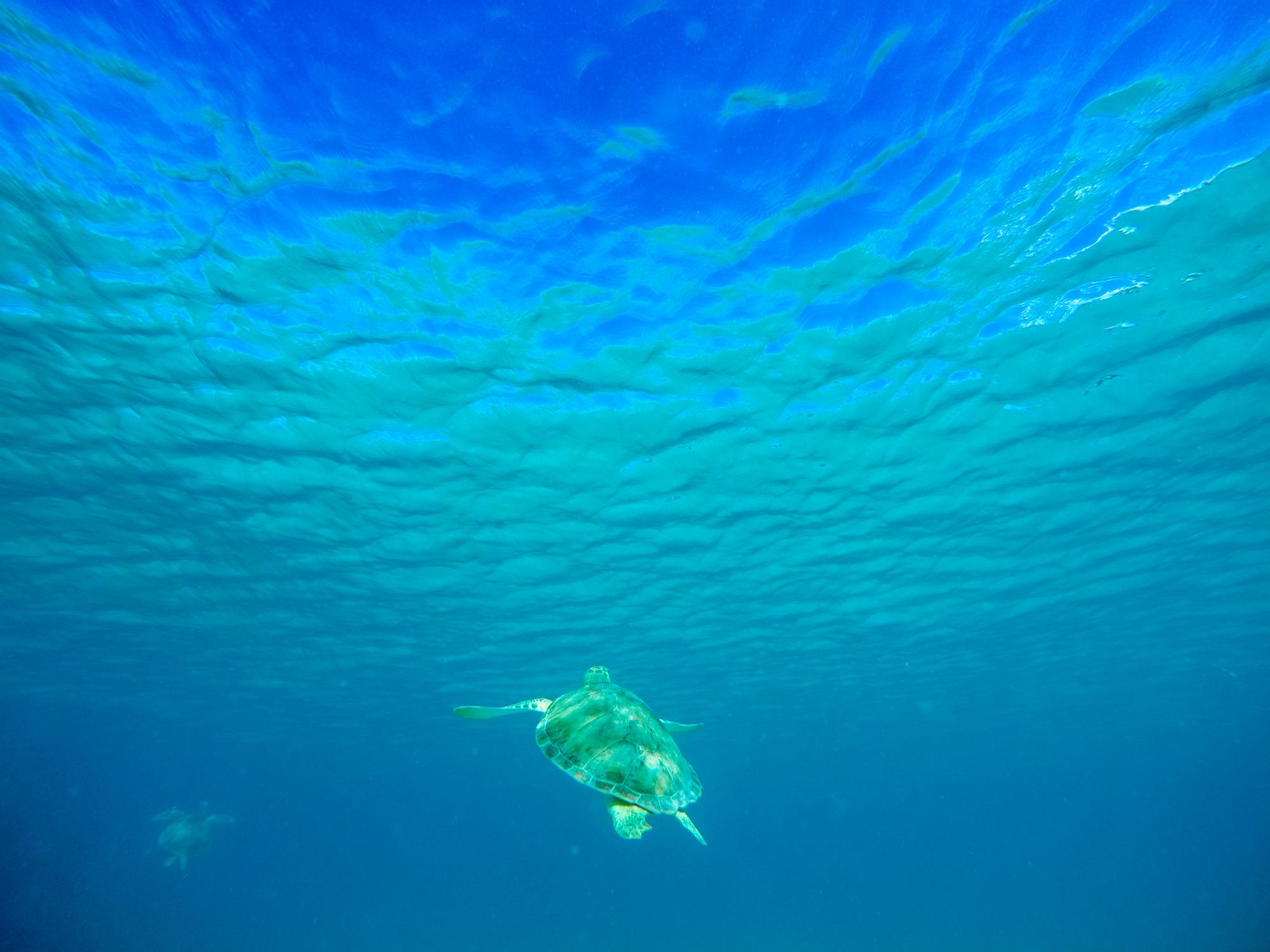 Sea Turtles were abundant at Scott Beach in Caneel Bay.