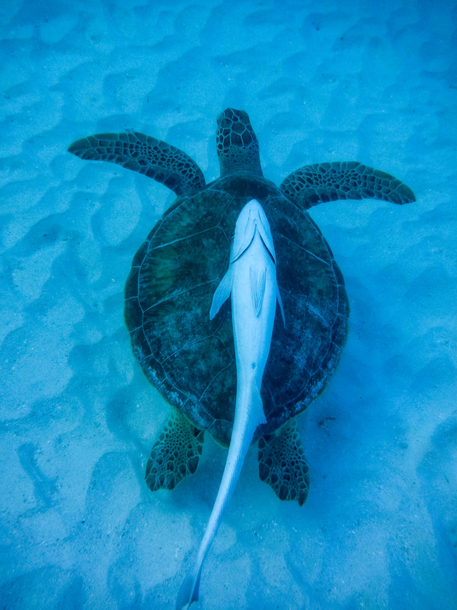 What a strange thing to see...a fish floating on its back on top of a sea turtle.