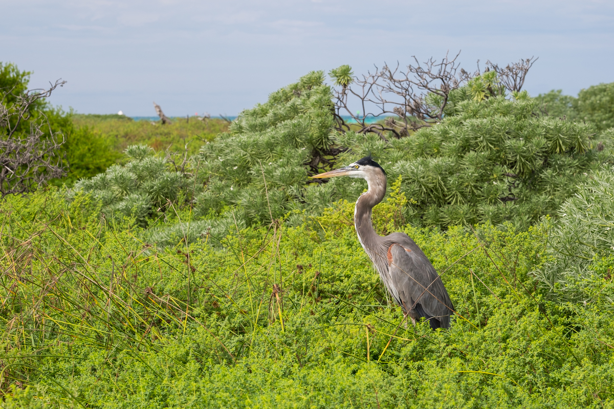 Great Blue Heron in Dry Tortugas National Park