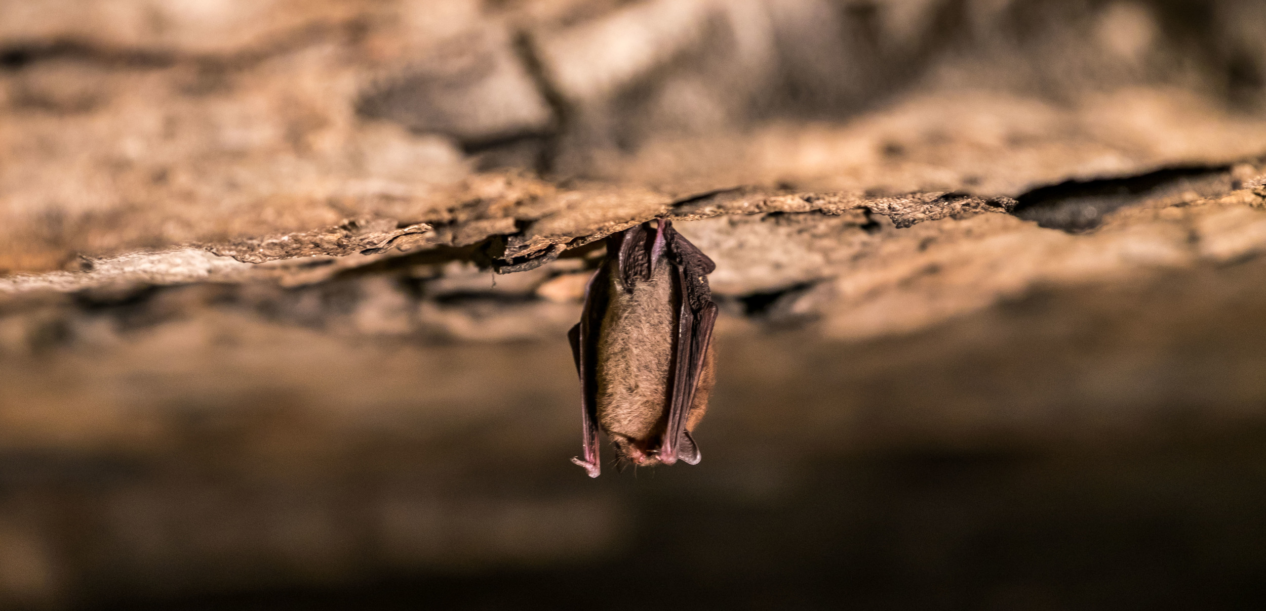 """A """"Chicken Nugget Bat"""". I believe this is a red bat, but he/she does look like a little chicken nugget hanging from the wall."""
