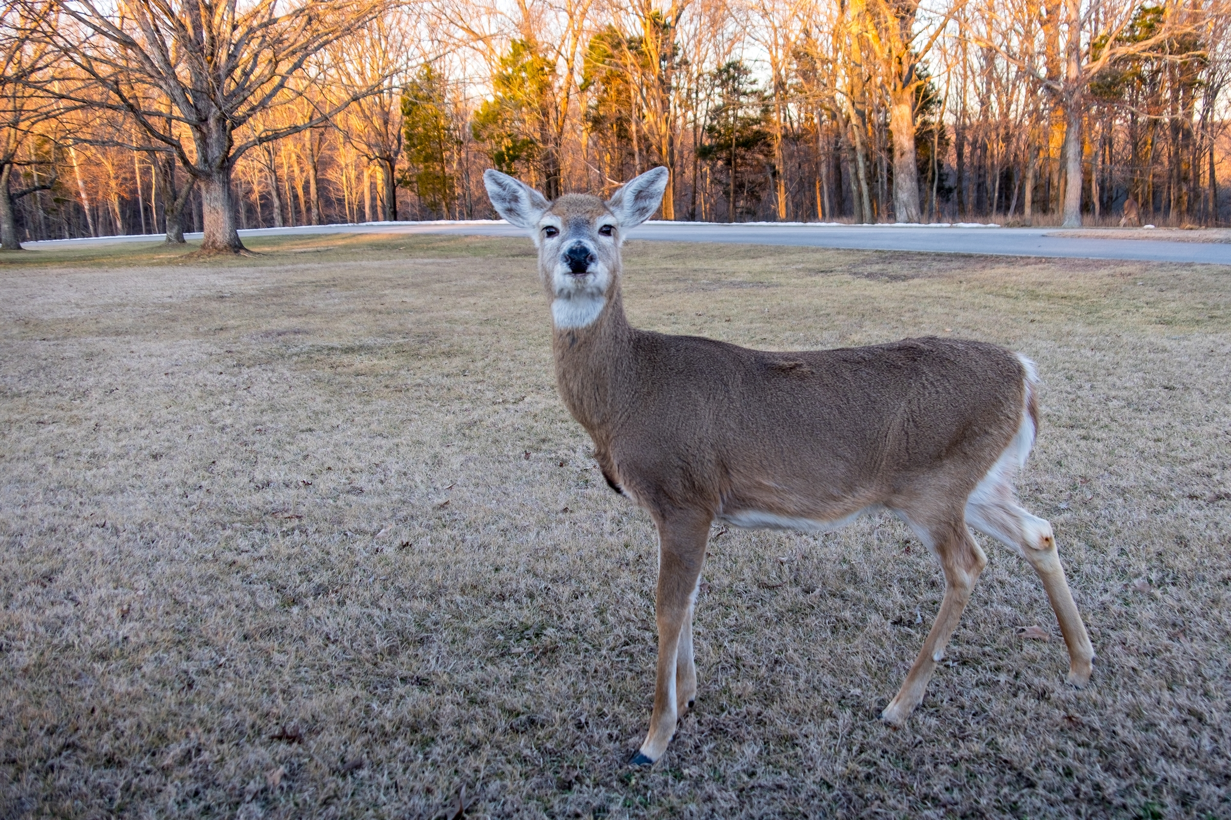 White tailed dear in Mammoth Cave National Park
