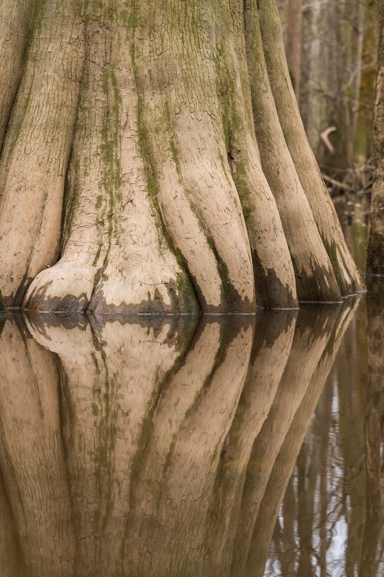 Old tree reflections. In the winter, the water level is much higher.