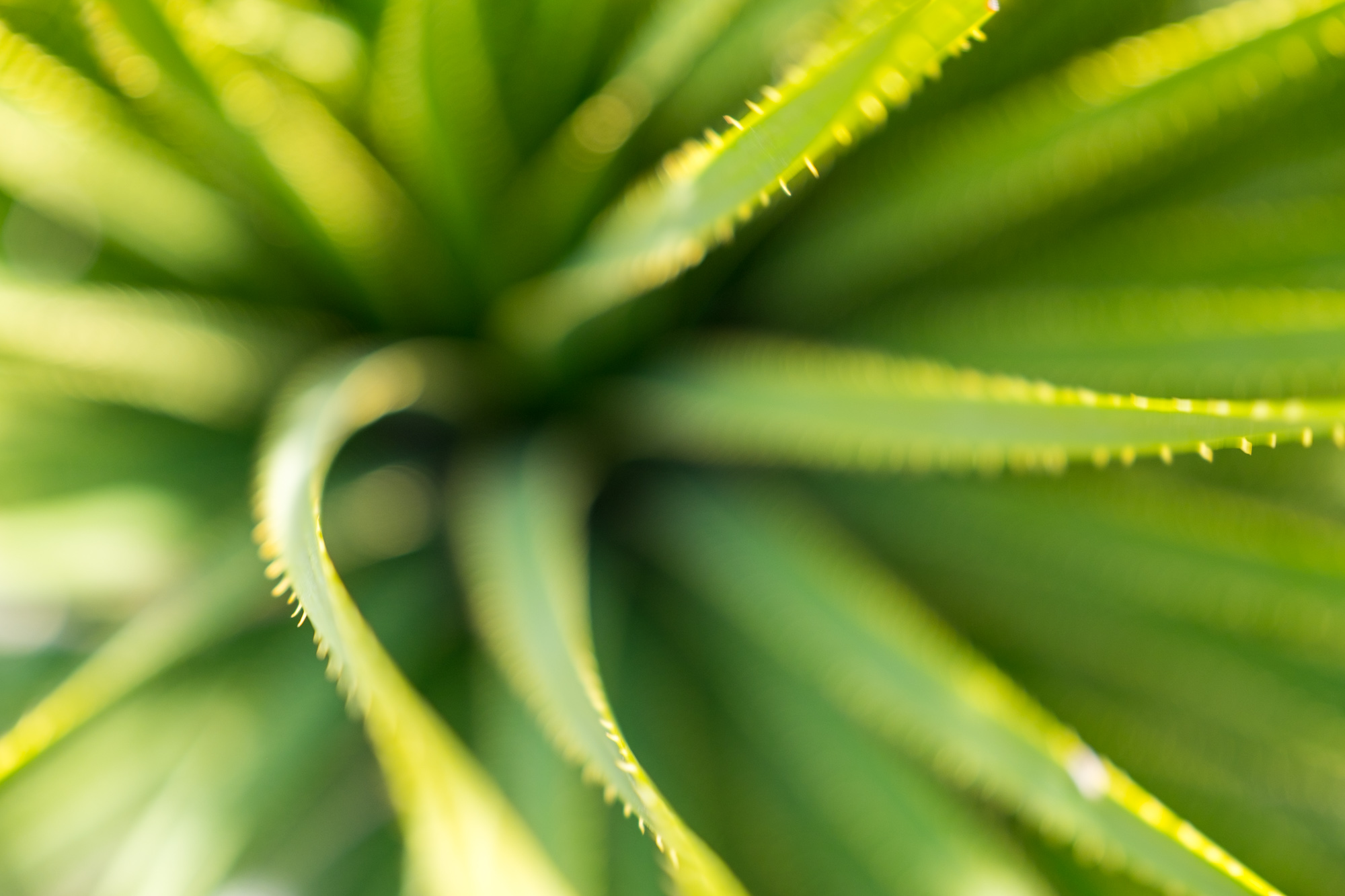 Closeup of an agave plant.