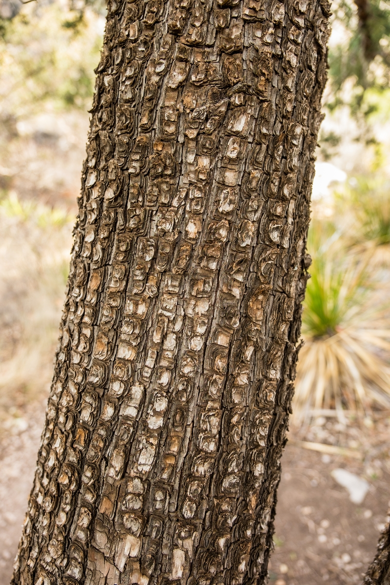 Tree bark at Guadalupe Mountains National Park, Texas.