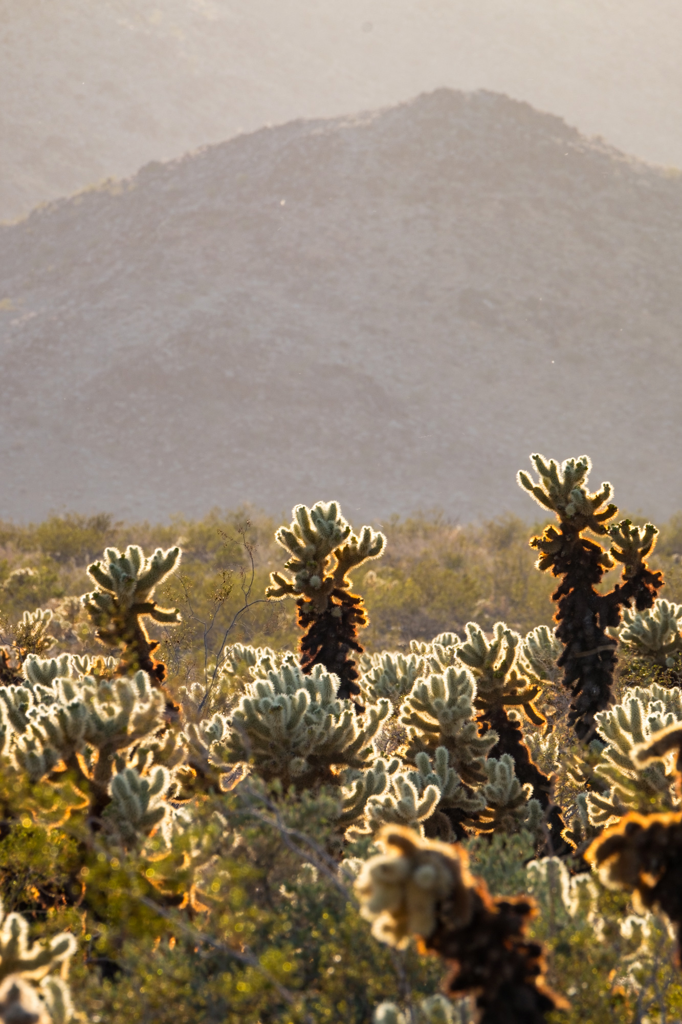 The Cholla Cactus are especially pretty when highlighted by the low setting sun.